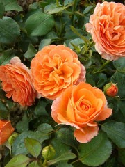 Meilland® Rosa Orange Meilove®