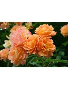Kordes® Rosa Westerland®