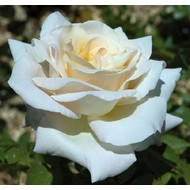 Meilland® Rosa Pierre Arditi® -Stammhöhe 60 cm