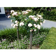Meilland® Rosa Rose Meilove® (Sunblaze) - Stammhöhe 60 cm