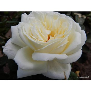 Nirp® Rosa  Elvis®