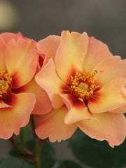Rosa Persian sun