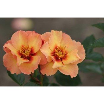 Vissers® Rosa Persian sun