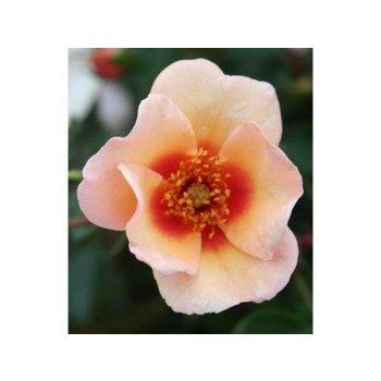Vissers® Rosa Smiling eyes