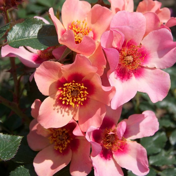 Rosa For your eyes only