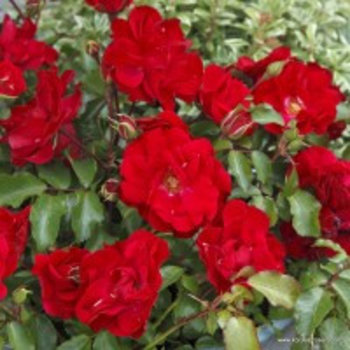 Kordes® Rosa Rotilia®