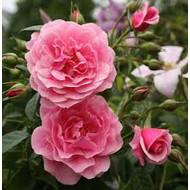 Rosa  Camelot®