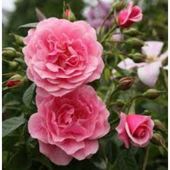 Tantau® Rosa  Camelot®