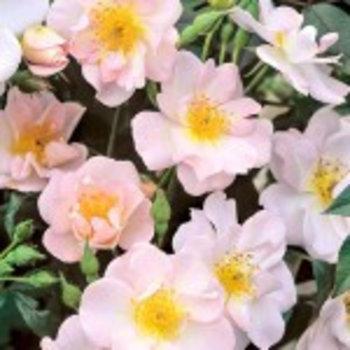 Rambler Rosa Open  Ams®
