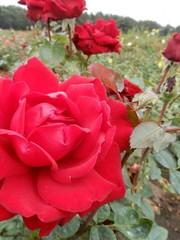 Kordes® Rosa Ingrid Bergman®