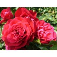 Kaufen Sie Rosen in Farbe