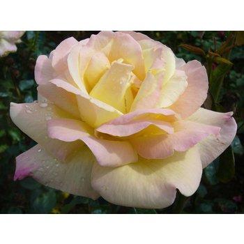 Rosa Peace (Gloria Dei)