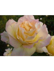 Meilland® Rosa Peace (Gloria Dei)