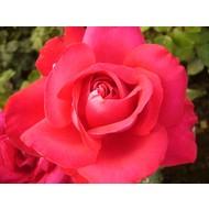 Tantau® Rosa Santana ®