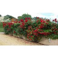 Rosa Santana ®