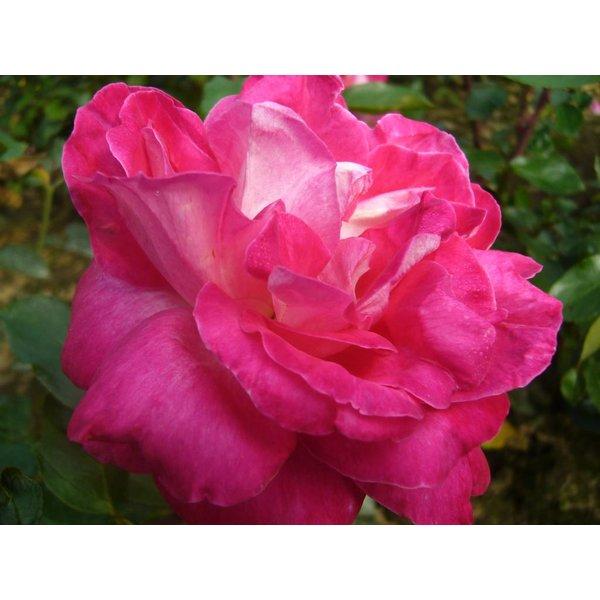 Rosa Rose Gaujard