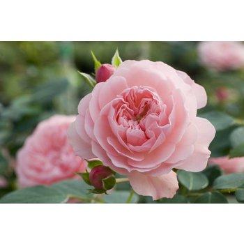 Meilland® Rosa Rose Meilove® (Sunblaze)