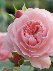 Meilland® Stamroos Rose Meilove (Sunblaze) - Stamhoogte 60cm en 90cm