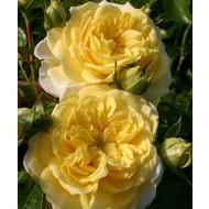 Rosa solero®