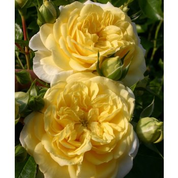 Kordes® Rosa solero®