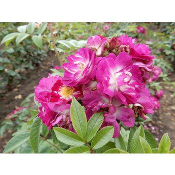 Rambler Klimroos Perennial Blue®