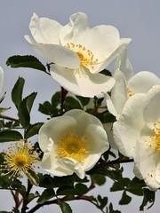 Rosa pimpinellifolia, deDuinroos