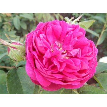 Rosa Rose de Rescht