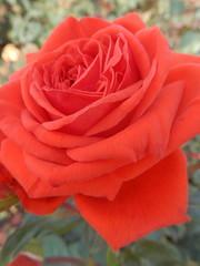 Rosa Bionda