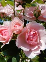 Meilland® Rosa Climbing Bonica®