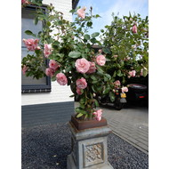 Meilland® Rosa Mini Eden Rose®