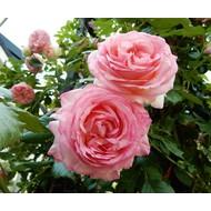 Meilland® Klimroos Eden Rose®