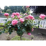 Meilland® Rosa Leonardo da Vinci- Stammhöhe 60cm und 90cm