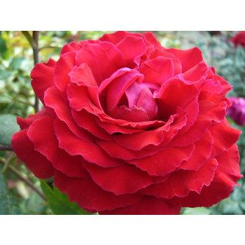 Meilland® Rosa Duftfestival® (Rosa Winschoten)