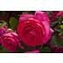 Rosa Pink Eden®
