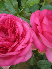 Klimroos Pink Eden®