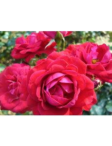 Rosa Red Wanderer