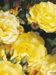 Kordes® Rosa Lichtkönigin Lucia®