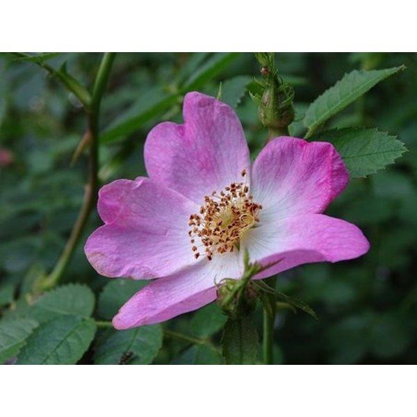 Rosa Rubiginosa- Egelantier