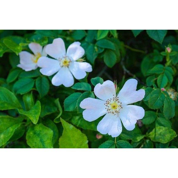 Rosa Multiflora- Japanse roos