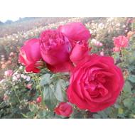Meilland® Klimroos Red Eden Rose® (Eric Tabarly)