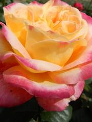 Meilland® Rosa Pullman Orient Express