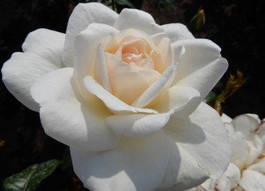 Pradikat/ADR Rose