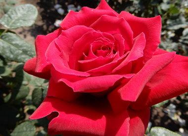 Rosen beschneiden