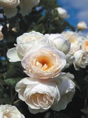 Tantau® Rosa  Uetersener Klosterrose®