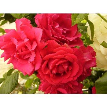 Rosa Paul Scarlet