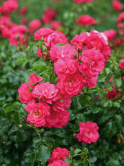 Rosa Heidetraum®