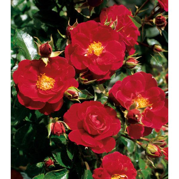 Rosa Flower Carpet Heidefeuer®