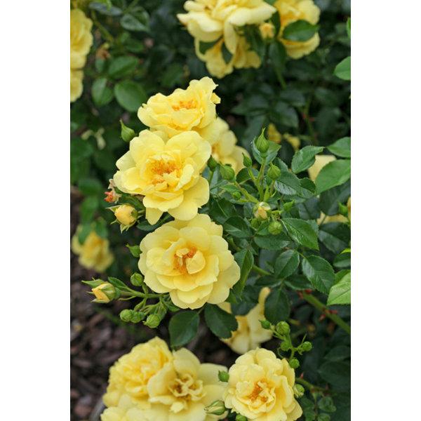 Rosa Flower Carpet  Loredo®
