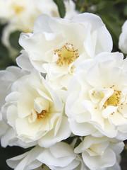 Rosa Schneeflocke®
