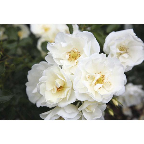 Rosa Flower Carpet Rosa Schneeflocke®